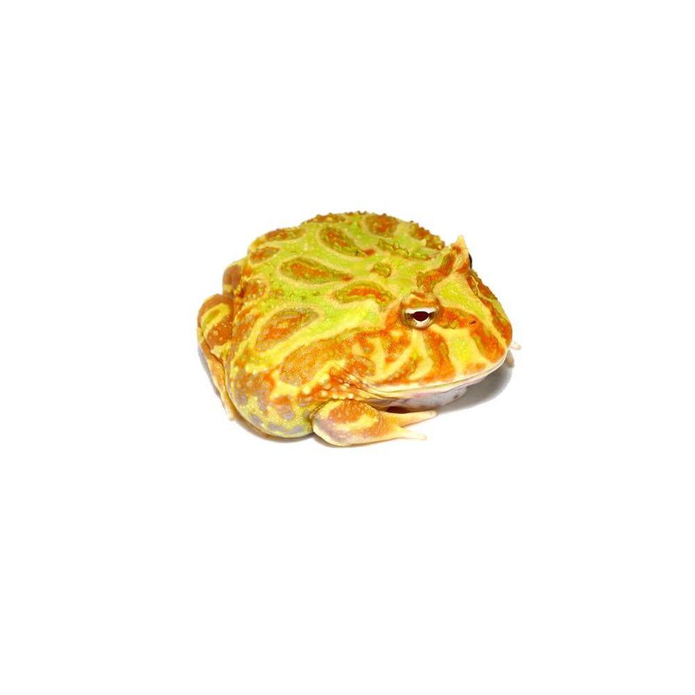 "Ceratophrys cranwelli ""Albinos"" - Grenouille Pacman"
