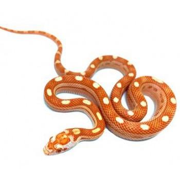 """Pantherophis guttatus """"Albinos Motley"""" - Serpent des blés"""