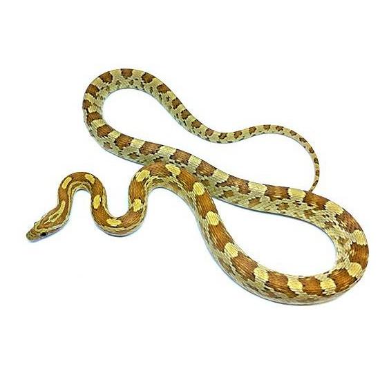 """Pantherophis guttatus """"Amber"""" - Serpent des blés"""