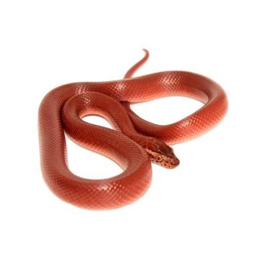 "Boaedon (Lamprophis) capensis ""Red Kenya"" - Serpent des maisons"