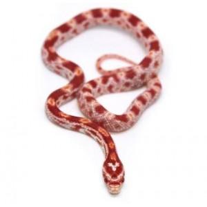 """Pantherophis guttatus """"Albinos"""" - Serpent des blés"""