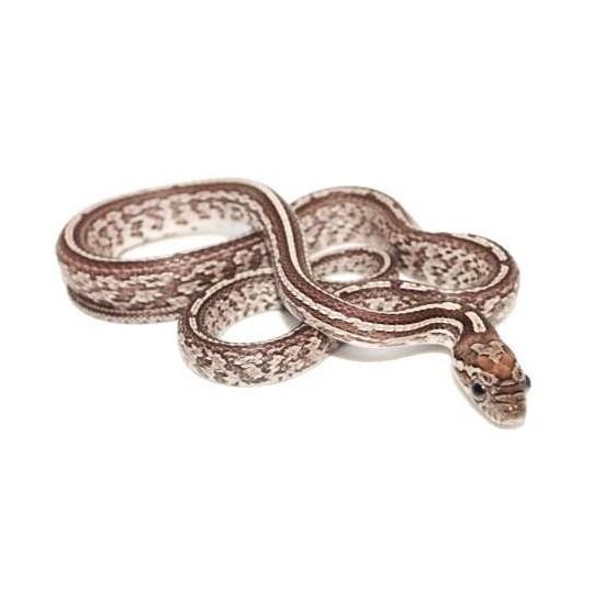 "Pantherophis guttatus ""Tessera Anery"" - Serpent des blés"