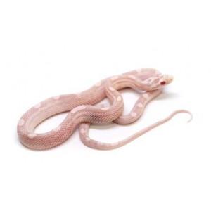 """Pantherophis guttatus """"Snow Motley"""" - Serpent des blés"""