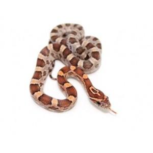 """Pantherophis guttatus """"Rastanie"""" - Serpent des blés"""