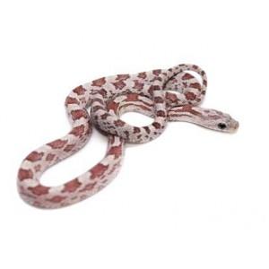 """Pantherophis guttatus """"Hypo Cinder"""" - Serpent des blés"""