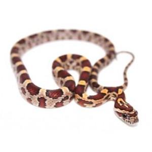 """Pantherophis guttatus """"Okeetee Abbott's"""" - Serpent des blés"""