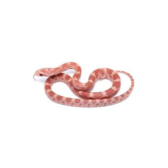 """Pantherophis guttatus """"Hypo Lavender"""" - Serpent des blés"""