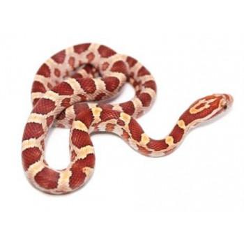 """Pantherophis guttatus """"Hypo"""" - Serpent des blés"""