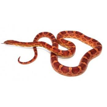 Pantherophis guttatus - Serpent des blés