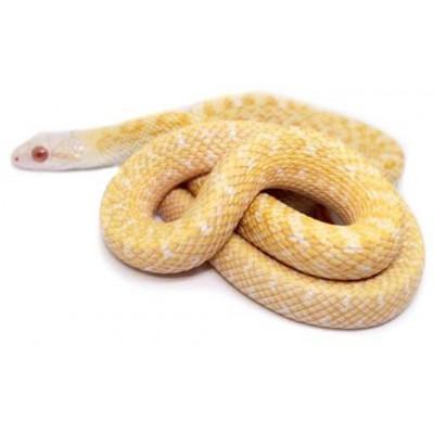 """Elaphe climacophora """"Albinos"""" - Serpent ratier du Japon"""