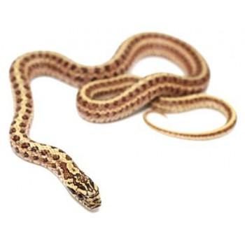Elaphe dione - Serpent ratier des steppes