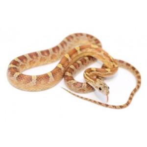 """Pantherophis guttatus """"Caramel Blood"""" - Serpent des blés"""