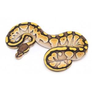 "Python regius ""Butter"" - Python royal"