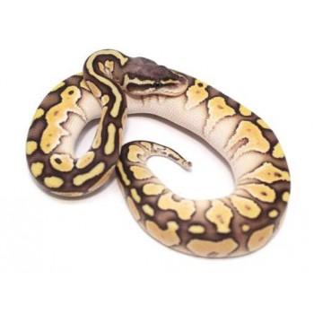 "Python regius ""Butter Pastel"" - Python royal"