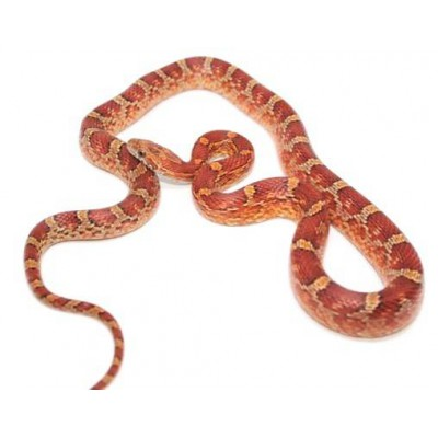 "Pantherophis guttatus ""Blood"" - Serpent des blés"