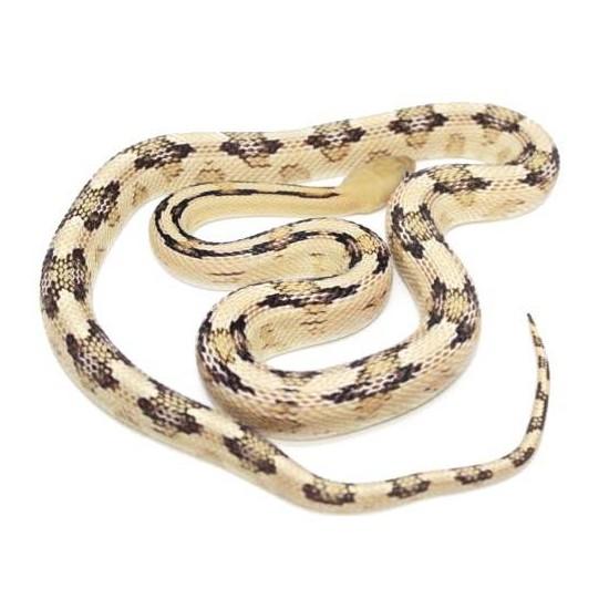 Bogertophis subocularis - Serpent ratier du Trans-Pecos