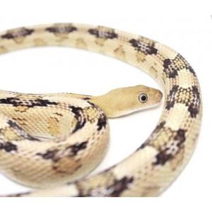 Bogertophis subocularis - Serpent ratier dfu Trans-Pecos