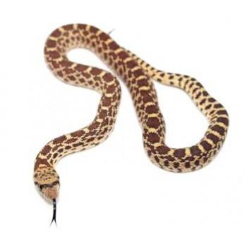 Pituophis catenifer sayi - Serpent taureau