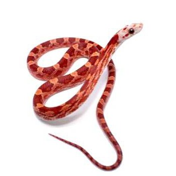 "Pantherophis guttatus ""Hypo Bloodred"" - Serpent des blés"