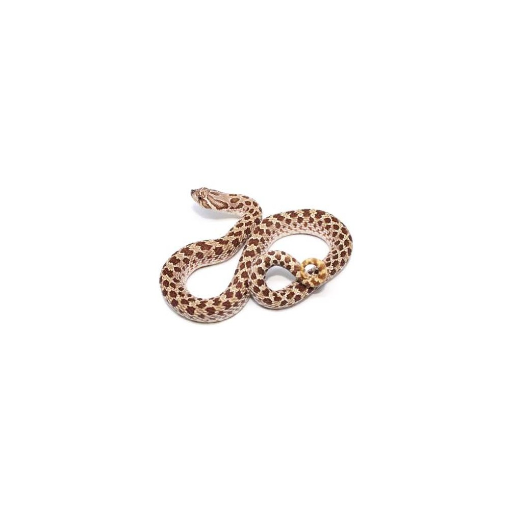 Heterodon nasicus - Serpent à groin