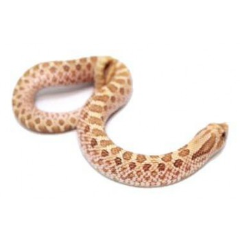 "Heterodon nasicus ""Néon Toffeebelly"" - Serpent à groin"