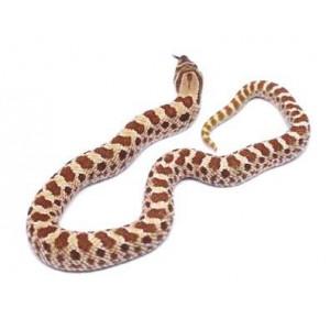 "Heterodon nasicus ""Pastel"" - Serpent à groin"