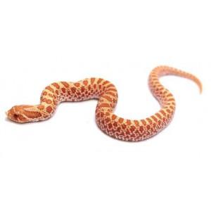 "Heterodon nasicus ""Albinos"" - Serpent à groin"