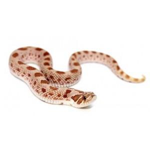 "Heterodon nasicus ""Anaconda"" - Serpent à groin"