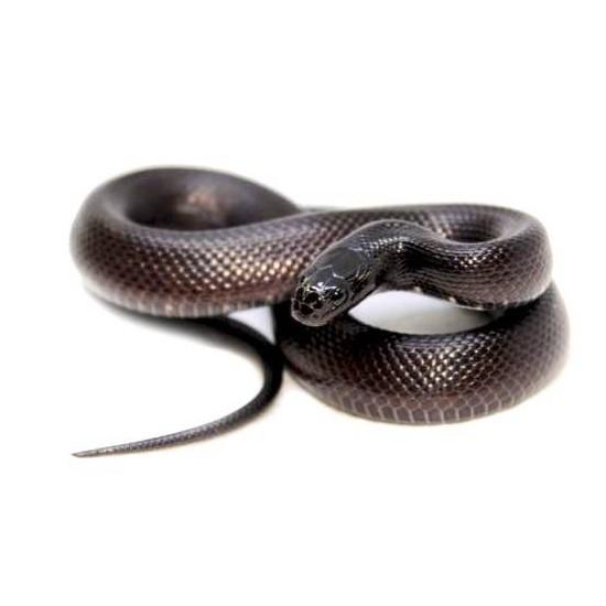 Lampropeltis getulus nigritus COUPLE - Serpent roi noir