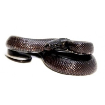Lampropeltis getulus nigritus - Serpent roi noir