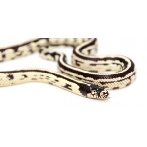 "Lampropeltis getulus californiae ""Stripe"" - Serpent roi de Californie"