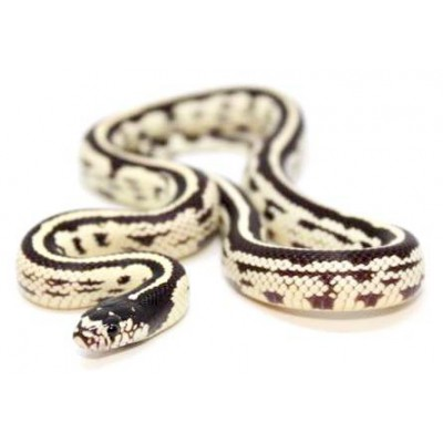 "Lampropeltis getulus californiae ""Reverse stripe"" - Serpent roi de Californie"