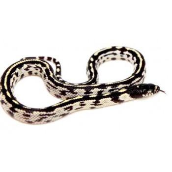 """Lampropeltis getulus californiae """"Stripe aberrant"""" - Serpent roi de Californie"""