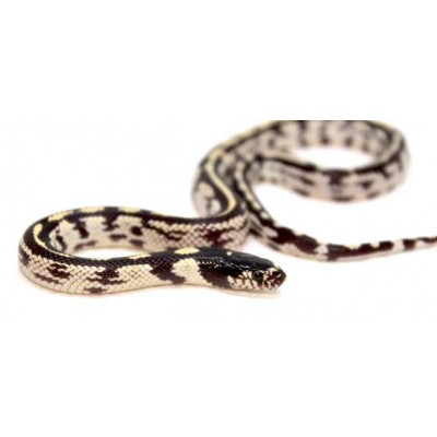 "Lampropeltis getulus californiae ""Stripe aberrant"" - Serpent roi de Californie"