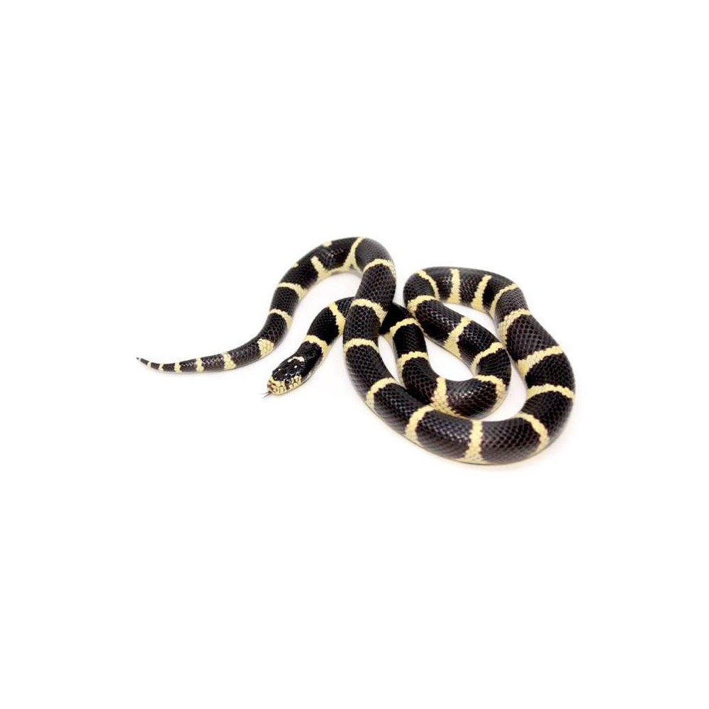 Lampropeltis getulus californiae - Serpent roi de Californie