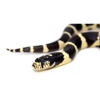 Lampropeltis getulus californiae - Serpent roi de Californie