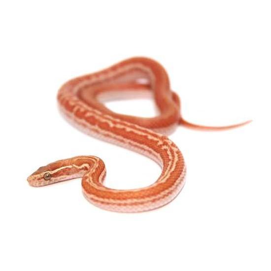 """Boaedon capensis """"Albinos"""" - Serpent des maisons"""