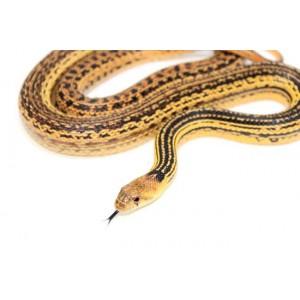 """Pituophis catenifer annectens """"Ligné"""" - Serpent taureau de San Diego"""