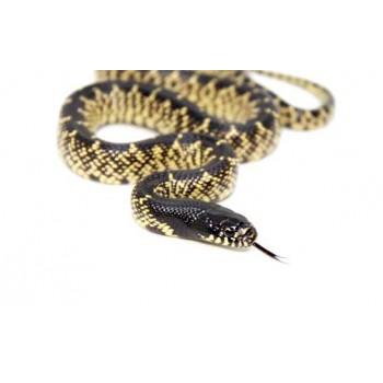 Lampropeltis splendida - Serpent roi du désert