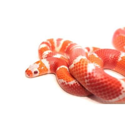 "Lampropeltis triangulum hondurensis ""Albinos Tangerine"" - Faux-corail du Honduras"