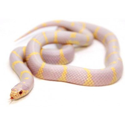 "Lampropeltis getulus californiae ""Albinos"" - Serpent roi de Californie"
