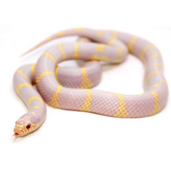 """Lampropeltis getulus californiae """"Albinos"""" - Serpent roi de Californie"""