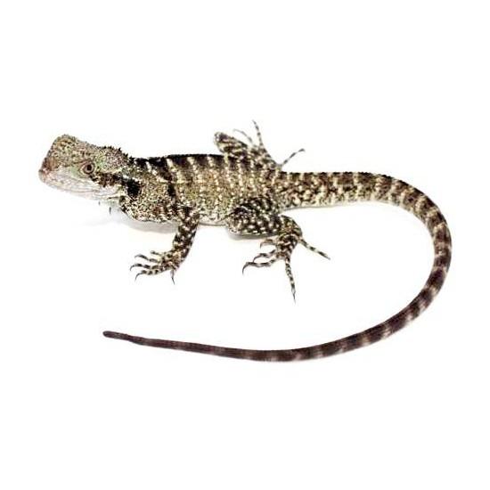 Intellagama (Physignathus) lesueurii - Dragon d'eau autralien