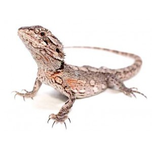 Pogona minor - Dragon barbu de l'Ouest