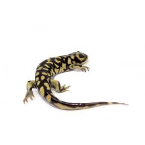 Ambystoma mavortium mavortium - Salamandre tigrée du Texas