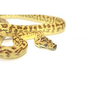 "Morelia spilota ssp ""Zebra Jaguar"" - Python tapis"