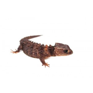 Tribolonotus novaeguineae - Scinque crocodile