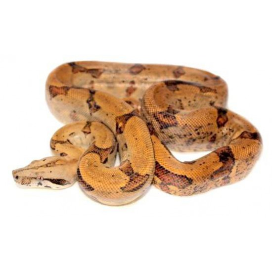 Boa constrictor sabogae - Boa de Pearl Island