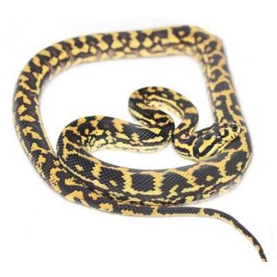 Morelia spilota ssp - Python tapis