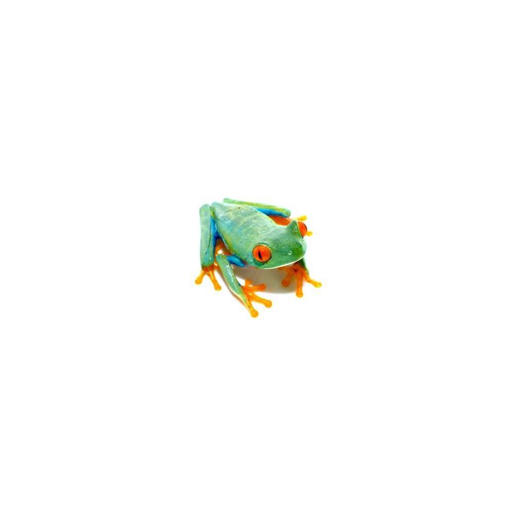 Agalychnis callidryas - Rainette aux yeux rouges